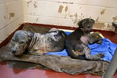 2/3/16 RDR:Can you help us help Thelma and Louise We have taken in several horrific cruelty cases in the last 24 hours To continue to help the dogs that need us most we need financial support to give these deserving lives medical care and a new beginning Please DONATE at http://rescuedogsrocknyc.org/ Or our pay pal: donate@rescuedogsrocknyc.org