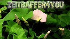 Echte Zaunwinde  Calystegia sepium Timelapse Blooming Zeitraffer bearbin...