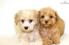 malti-poo-maltipoo-puppy-picture-b80fa417-9873-46ba-8bfc-179fe0f83f8b.jpg (900×600)