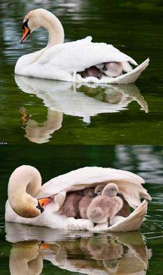 親鳥さんが子鳥さんを守る