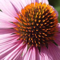 #flower #pink #pattern #macro #sharp #supermacro #macrogardener #pink #orange #black #promoterealphotos