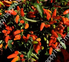Red Chili Peppers by happyhippomedia on Etsy.