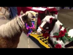 Mini Horse Meets Mechanical Horse