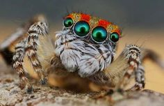 Probably the prettiest spider in the world. How many legs krocznych are spiders? 4 pairs