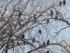 The eagles have returned to Lock & Dam #15 in Davenport
