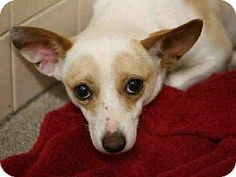 Phoenix, AZ - Chihuahua Mix. Meet PANSONA a Dog for Adoption.PANSONA Breed: Chihuahua Mix  Color: Unknown Age: Young Size: Small 25 lbs (11 kg) or less Sex: Female ID#: 6733556-A473698