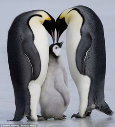 Emperor Penguin Chick and Adulta, Snow Hill Island, Weddell Sea, Antarctica, Polar Regions Photographic Print by Thorsten Milse - at AllPost. Penguin Love, Cute Penguins, Penguin Parade, Penguin Baby, King Penguin, Animals And Pets, Baby Animals, Cute Animals, Arctic Animals