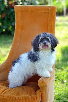 Havanese--looks like our Bayer. Baby Dogs, Pet Dogs, Dogs And Puppies, Pets, Doggies, Havanese Puppies, Teacup Puppies, Maltipoo, Yorkie