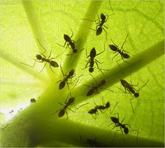 On a Panamanian island, workers of the crazy ant (Paratrechina longicornis) drinking from nectaries on the underside of a leaf. Many plants attract ants with nectaries, and the ants in return help remove the plant's herbivorous pests.
