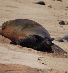 Hawai'ian Monk Seal #kauai #Hawaii
