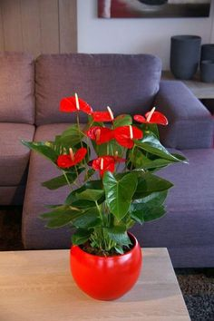 Flowering indoor plants that are easy to keep alive is a common need among people who love houseplants. Some plants (often given as gifts) like hydrangeas,. Indoor Flowering Plants, Indoor Flowers, Outdoor Plants, Home Flowers, Red Flowers, House Plants Decor, Plant Decor, Cool Plants, Cactus Plants