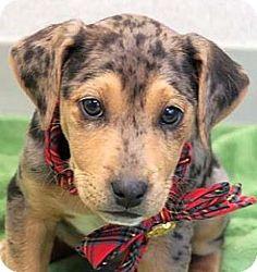 Wenatchee, WA - Irish Terrier/Catahoula Leopard Dog Mix. Meet Houston, a puppy for adoption. http://www.adoptapet.com/pet/14456267-wenatchee-washington-irish-terrier-mix