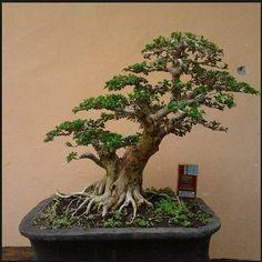 jenis jenis tanaman bonsai