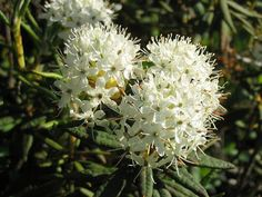 """A member of the same plant family as rhodos, azaleas and other """"acid lovers"""", Labrador tea is a pretty shrub that will be welcome in many home landscapes Plants, Tiny White Flowers, Growing Flowers, Flowering Bushes, Types Of Flowers, Trees To Plant, Bonsai Plants, Rhododendron, Flowering Trees"""