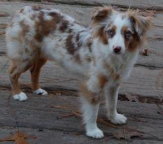 Mini Aussie Shepherd Red Merle