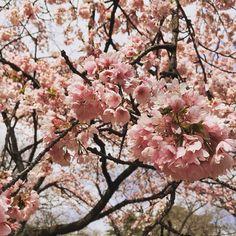 昨日の新宿御苑の早咲きの桜 by darwinfish105 via Instagram w/ifttt