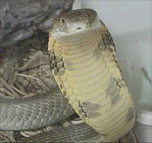 """King Cobra - The king cobra (Ophiophagus hannah) is the world's longest venomous snake, with a length up to 18.5 to 18.8 ft (5.6 to 5.7 m).[1] This species, which preys chiefly on other snakes, is found predominantly in forests from India through Southeast Asia. Despite the word """"cobra"""" in its name, this snake is not a member of Naja (""""true cobras"""") but belongs to its own genus. The king cobra is considered to be a dangerous snake and has a fearsome reputation in its range..."""