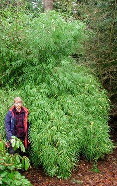 Borinda fungosa Height: 18 feet Diameter: 1 inch Hardiness: 25 F Borinda f Growing Grass From Seed, Fargesia, Pet Safe, Native Plants, Garden Plants, Roots, Seeds, Morning Sun, Pacific Northwest