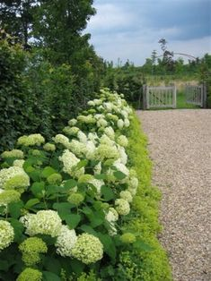 Hedges, Hydrangea Garden, Garden Entrance, Fence Landscaping, Garden Landscape Design, Garden Borders, White Gardens, Garden Spaces, Dream Garden
