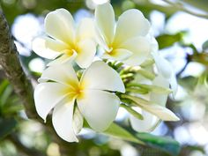 Check out Frangipani plumeria flowers by LiliGraphie on Creative Market