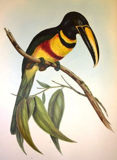 Illustration by Edward Lear for John Gould's Monograph of the Ramphastidae, or Family of Toucans. 1834