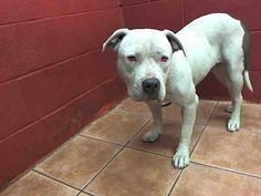 SAFE :) SHE IS VERY SICK WITH KENNEL COUGH NOW! URGENT! 1 YR OLD FEMALE PIT BULL NEEDS PLEDGES & RESCUE! HER FRIEND WAS HIT BY A CAR & WAS EUTHANIZED.A4897882 Florence is approx.1 year old female pit bull already spayed. I have been at the Downey Animal Care Center since November 17, 2015. https://www.facebook.com/photo.php?fbid=972893532790979&set=a.621812584565744&type=3&theater