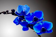 Blue Orchids stock photo