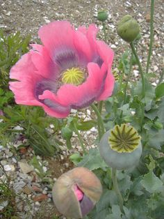 Organic Flower Seeds Pink Opium Poppy Papaver by ArtFarmEtsy All Plants, Growing Plants, Garden Plants, Poppy Flower Seeds, Marijuana Funny, Paper Collage Art, Wedding Messages, Vertical Garden Diy, Seed Pods