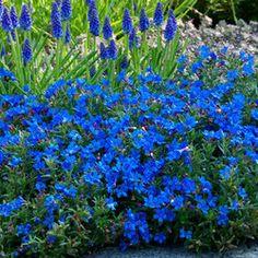 Lithospermum Heavenly Blue - http://www.guardiangardencentre.co.uk/plant-1003725-x-1/6-lithospermum-heavenly-blue/