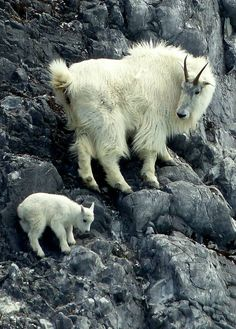 Mother mountain goat teaching her kid how to climb safely. The kids stay with their mothers for the first year of their lives.