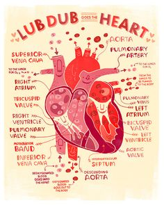 Lub Dub goes the Heart anatomy poster by Rachelignotofsky on Etsy, $17.00
