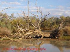 Fallen tree at lily lagoon Longreach, QLD Australia.