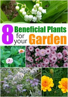 8 Beneficial Plants for Your Garden. Flowers that help with pests and gardening ideas that work with vegetables, herbs and flowers.