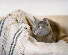 Beautiful gray cat lying on sofa