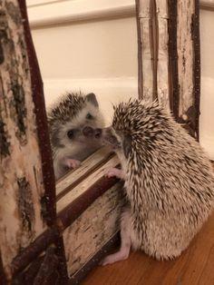 I& so romantic sometimes I think I should just marry myself. Mike Wazowski as a hedgehog. Super Cute Animals, Cute Little Animals, Cute Funny Animals, Funny Cute, Baby Animals Pictures, Cute Animal Photos, Animals And Pets, Hedgehog Pet, Cute Hedgehog