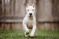 What a lovely little dogo argentino puppy, true white brillant molos