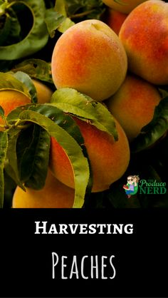 See how peaches are harvested and packed at a large commercial size growing and packing operation in California. Pruning Fruit Trees, Fruits And Vegetables, Peaches, Agriculture, Harvest, Food Photography, Mango, Commercial, Things To Come