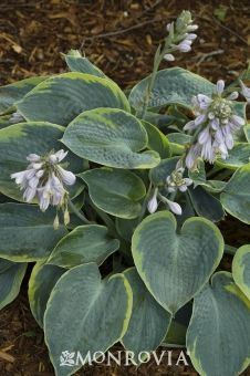 Flavocircinalis Plantain Lily (Hosta) Med height. full to partial shade. Lavender blooms come in the summer,