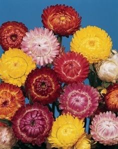 Pase Seeds - Helichrysum Bikini Series Bright Mix Annual Seeds, $3.49 (http://www.paseseeds.com/helichrysum-bikini-series-bright-mix-annual-seeds/)