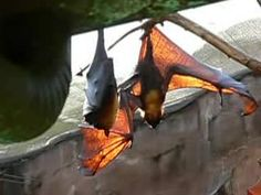 Pteropus - Wikipedia