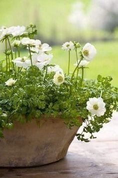 A collection of Anemone Coronaria bulbs in the best velvety, rich colours - perfect for your spring garden and great value. Container Plants, Container Gardening, Beautiful Gardens, Beautiful Flowers, Beautiful Boys, Raindrops And Roses, White Gardens, Gras, Dream Garden