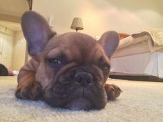 This French Bulldog Puppy is so sweepy.