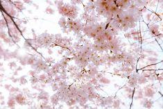 Outfit unter Kirschblüten: Rosa meets Ultraviolet und Karl Lagerfeld Tasche Karl Lagerfeld Taschen, Felder, Ultra Violet, Cherry Blossom, Outfit, Pink, Pictures, Cherries, Outfits