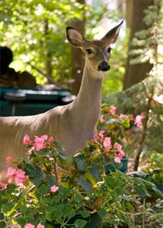 Deer tolerant and deer resistant plants | In the Garden | Southern Living Plant Collection