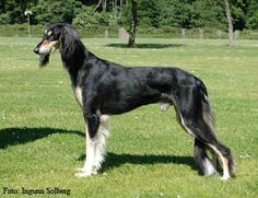 I really want a Saluki in these Colours - so do I!!