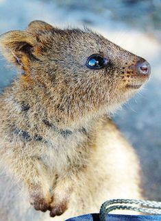 Thuggish Teen Fined For Kicking Quokka Quokka Animal And - 15 photos that prove quokkas are the happiest animals in the world