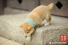 Shiba Inu(inu means dog) puppy 10th.jpg