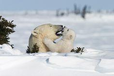 Kinderstube der Eisbären - © Thorsten Milse Kinderstube der Eisbären via GEO