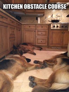 Known for being police dogs, they are amazing life companions too. We should honor them and show the world how German Shepherds act behind closed doors. Funny Dogs, Funny Animals, Cute Animals, Animal Fun, I Love Dogs, Cute Dogs, German Shepherd Puppies, German Shepherds, German Dogs