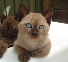 Okay, so we cant have pets on our rental, but a girl can dream....Tonkinese kitten